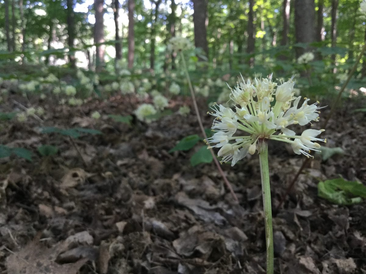 Midsummer in the woods: wild leeks and American bellflowers in bloom, mayapples falling;