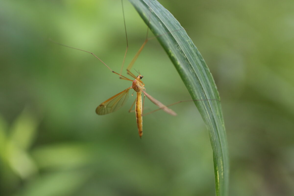 Craneflies the week following the solstice